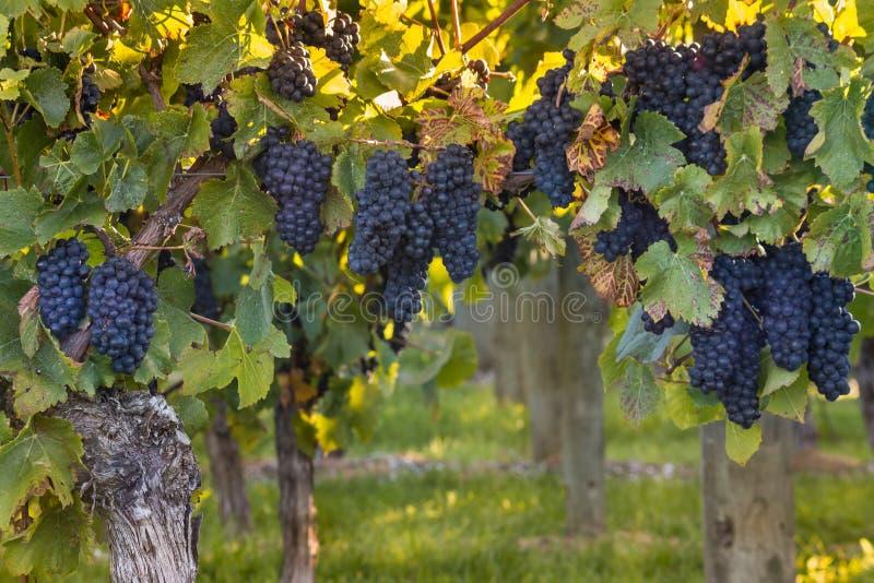 Reife Pinot Noir-Trauben im Weinberg bei Sonnenuntergang lizenzfreies stockfoto