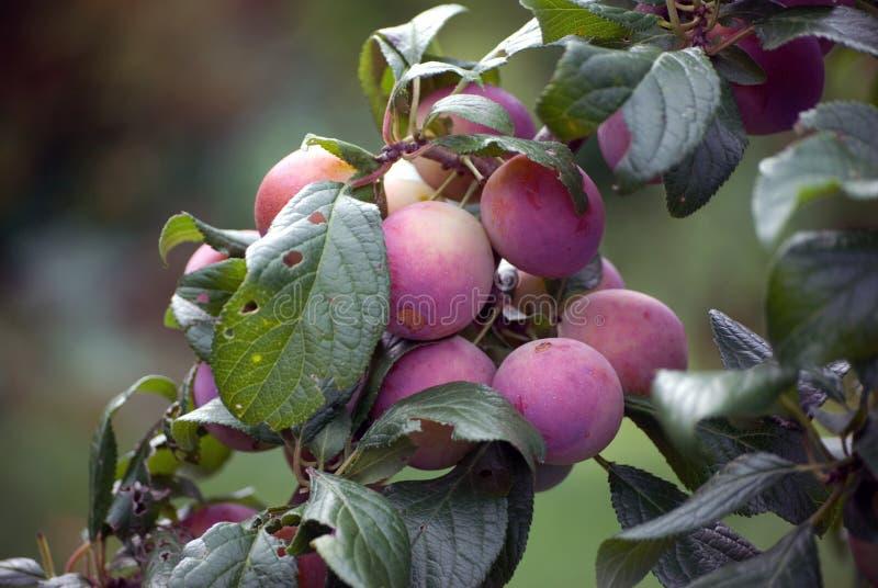 Reife, pralle Pflaumen (Prunus Rosacea) lizenzfreie stockfotos
