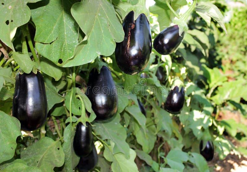 Reife purpurrote Auberginen, die auf dem Busch wachsen lizenzfreies stockbild