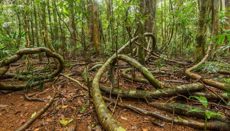 Reife Regenwaldreben stockfotografie