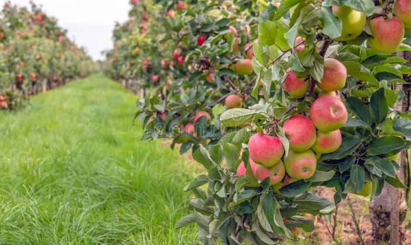 Reife rote Äpfel bereit, in einem Apfelgarten ausgewählt zu werden lizenzfreie stockfotografie