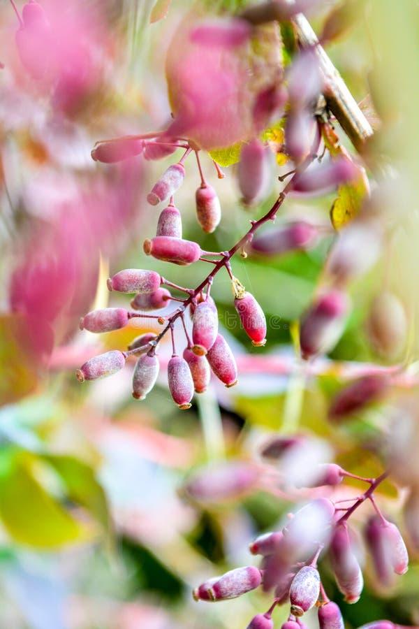 Reife rote Beeren der Berberitzenbeere auf Niederlassungsnahaufnahme Fructiferous Strauch von Berberis stockfoto