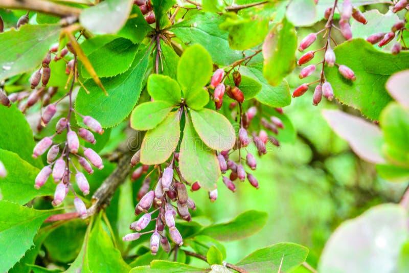 Reife rote Beeren der Berberitzenbeere auf Niederlassungsnahaufnahme Fructiferous Strauch von Berberis lizenzfreie stockfotos