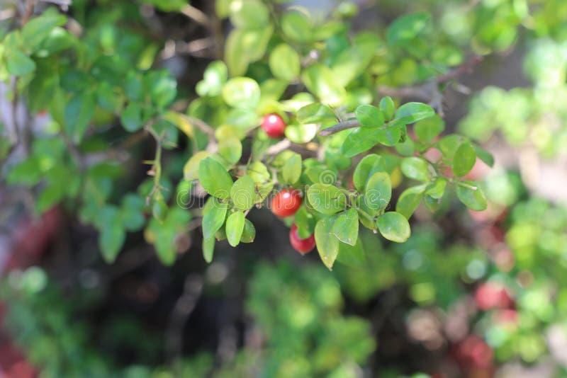 Reife rote Früchte auf dem Baum stockfotografie