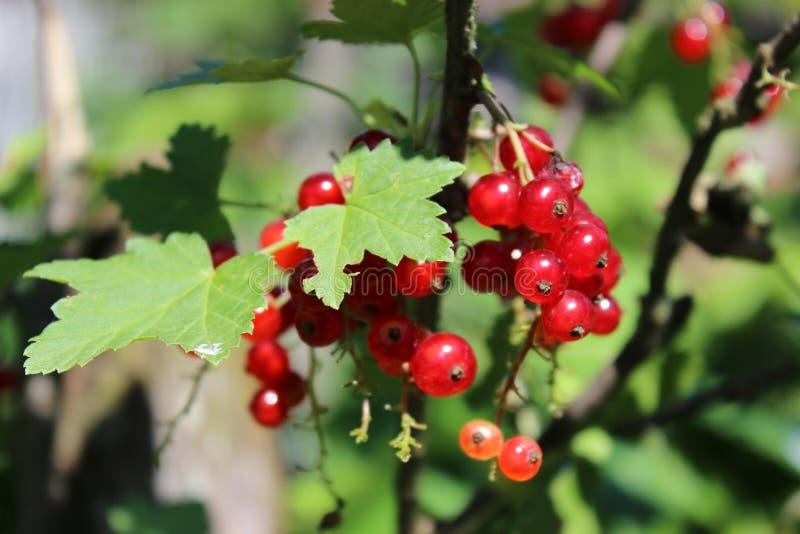 Reife rote Johannisbeerbeeren hängen von einem Busch lizenzfreie stockfotos