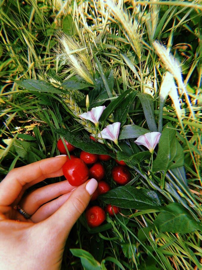 Reife rote süße Kirsche liegt auf dem grünen Gras und eine Beere ist in der Hand 3 stockbilder