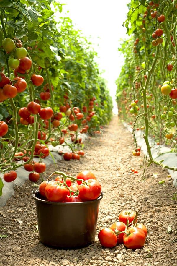 Reife Tomaten im Garten stockbild