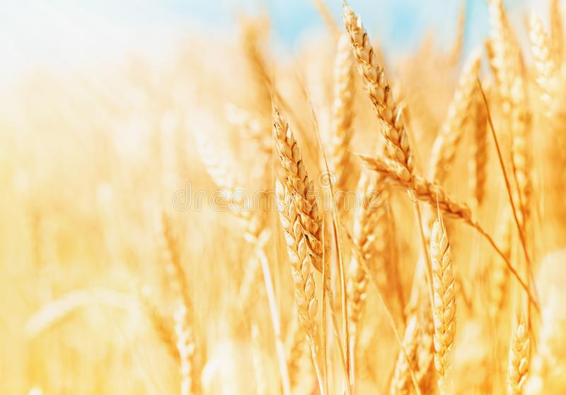 Reife und organische Ohren des Weizens während der Ernte gegen blauen Himmel am sonnigen Tag Sch?ne Landschaft des Weizenfeldes stockfotografie