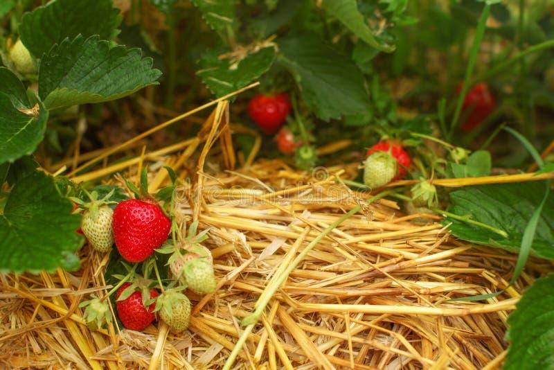 Reife und unausgereifte Erdbeeren in den Blättern, mit Stroh darunter stockfoto