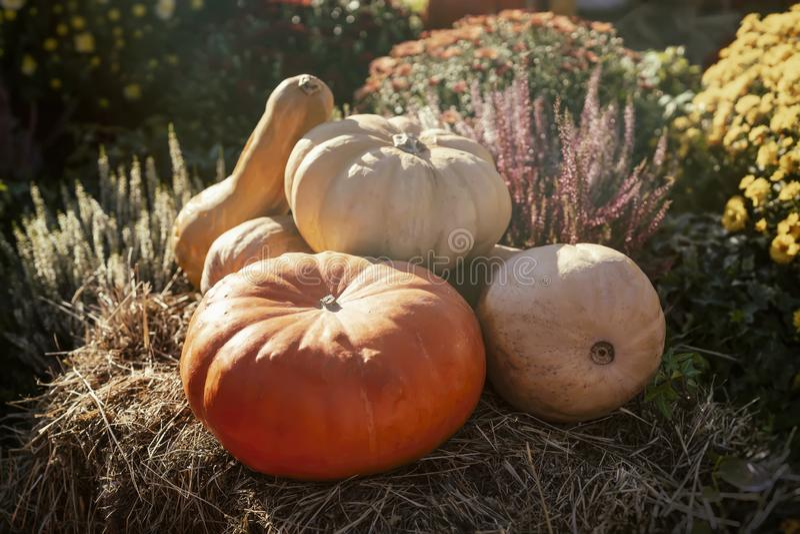 Reife verschiedene Kürbise beleuchteten durch Herbstsonne, auf trockenem Stroh Traditionelles Symbol für Erntefeiertage, Danksagu stockfotografie