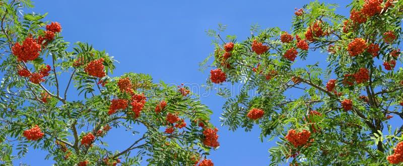 Reife Vogelbeeren auf einem Ebereschenbaum stockbild