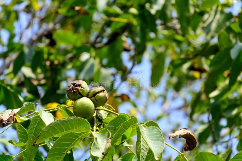 Reife Walnüsse am Walnussbaum auf Hintergrund des blauen Himmels Erntende Zeit Selektiver Fokus lizenzfreies stockfoto