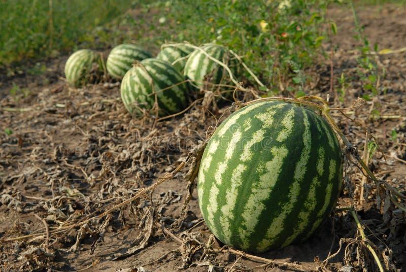 Reife Wassermelonen stockbild