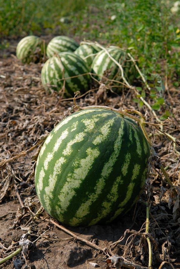 Reife Wassermelonen lizenzfreie stockbilder