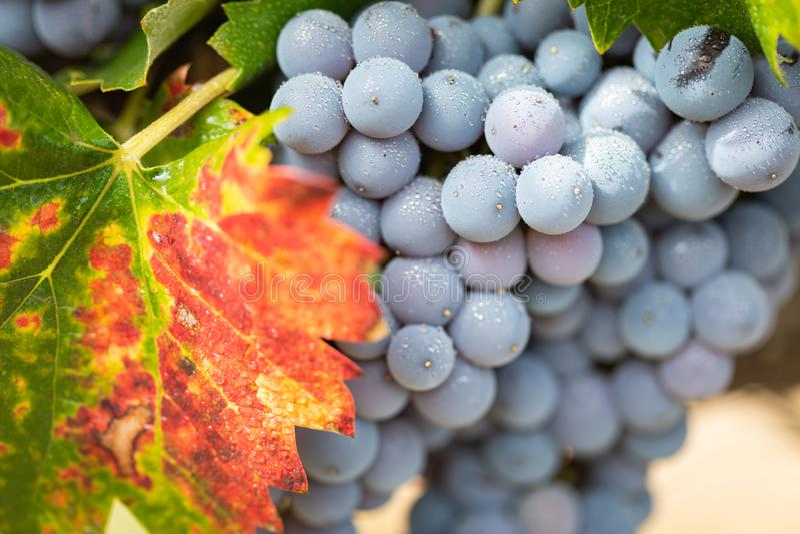 Reife Weinreben auf der Rebe bereit zu Autumn Harvest stockbilder
