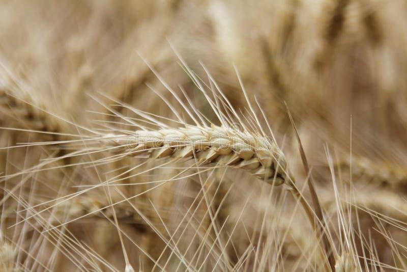 Reife Weizenohren stockfotos