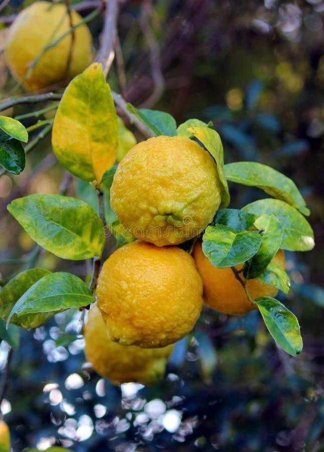 Reife Zitronen auf Zitronenbaum in Florida lizenzfreie stockfotos
