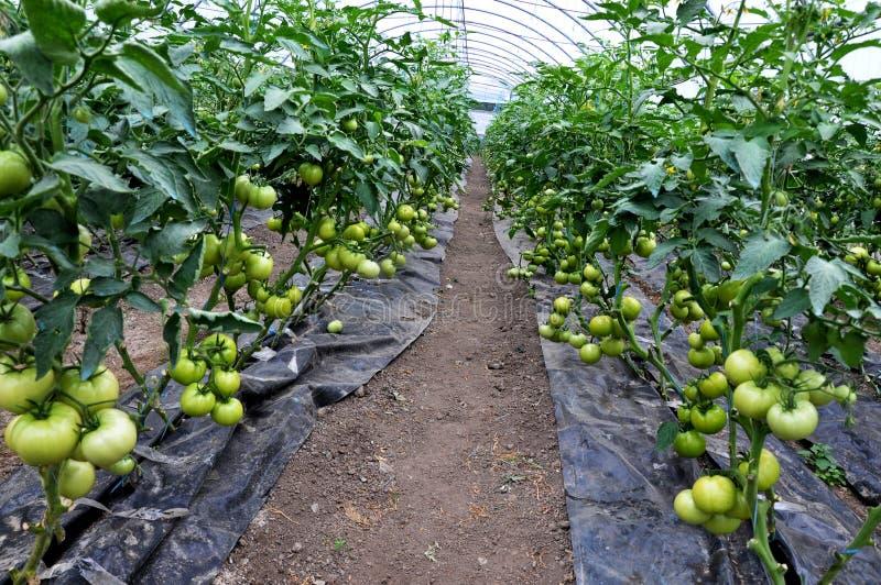 Reifen Sie Tomaten im Gewächshaus lizenzfreie stockfotografie