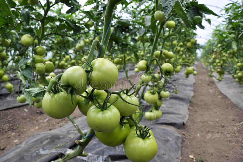 Reifen Sie Tomaten im greenhouse_5 stockbild
