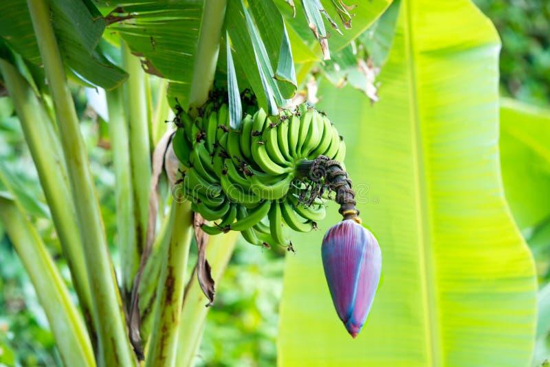 Reifende Bananenfrüchte mit blau-rosa Blüte in vorderem enormem Blatt auf auf Bananenstaude stockfoto