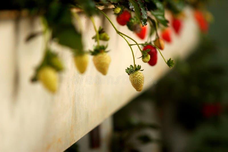 reifende Erdbeere stockfotos
