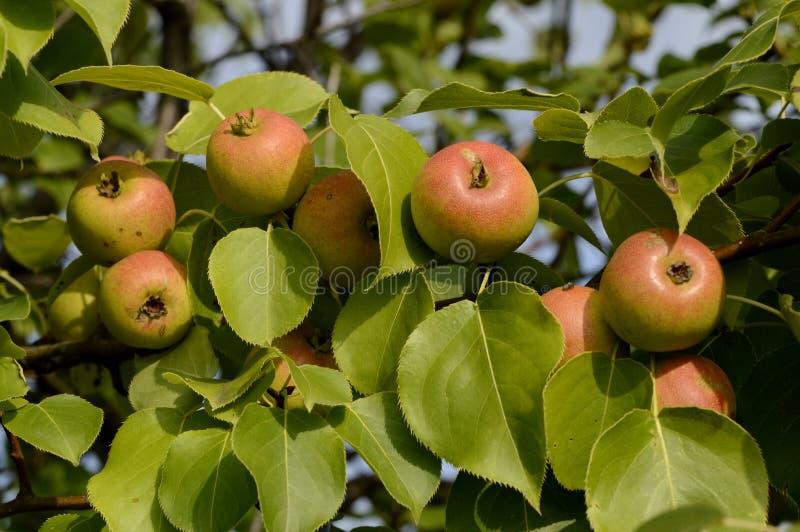 Reifende Früchte des wilden Apfels auf einem Zweig stockfoto