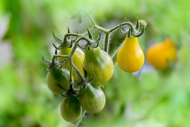 Reifende gelbe Birnentomaten stockfoto