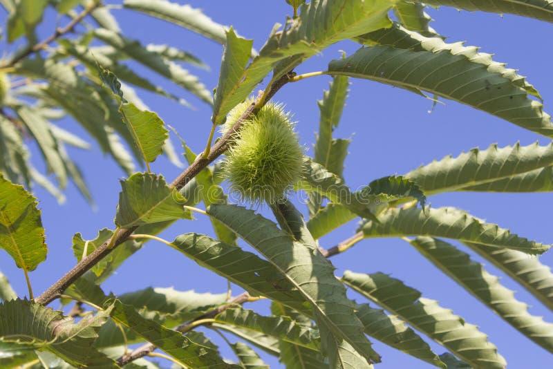 Reifende Kastanienfrüchte lizenzfreies stockbild