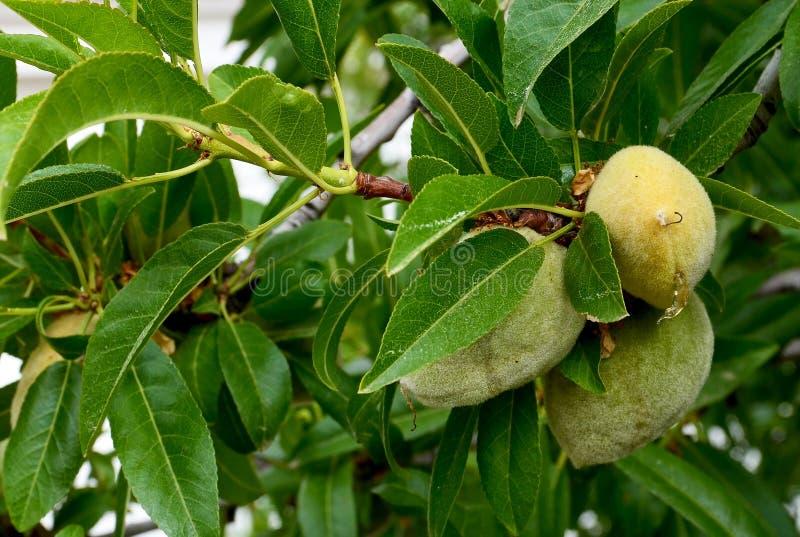 Reifende Mandel trägt auf einer Niederlassung des Mandelbaums im Garten Früchte lizenzfreie stockbilder