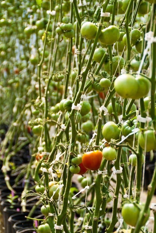 Reifende Tomaten stockfotos