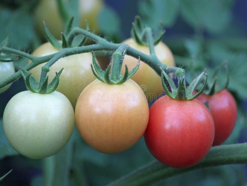 Reifende Tomaten auf der Rebe stockfoto