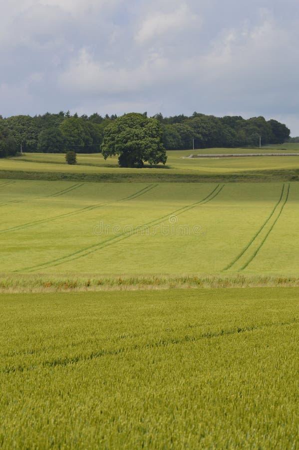 Reifender Weizen auf dem Gebiet stockbild