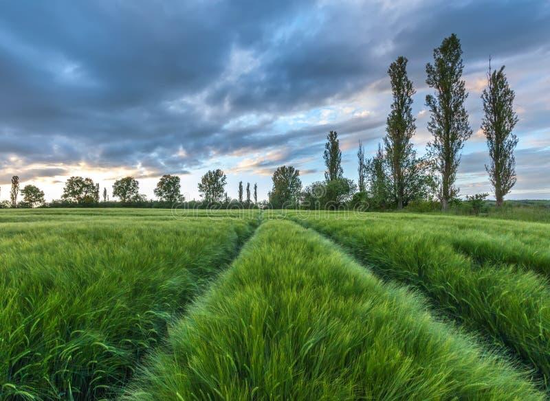 Reifendes Weizenfeld und Sonnenaufganghimmel stockbilder