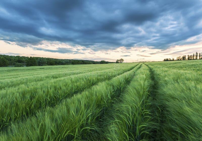 Reifendes Weizenfeld und Sonnenaufganghimmel lizenzfreies stockfoto