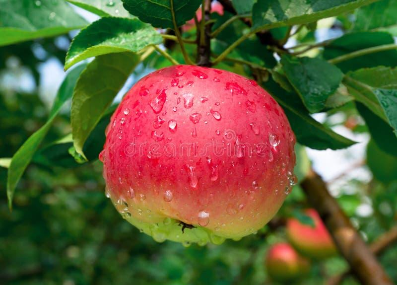 Reifer Apfel stockfotos