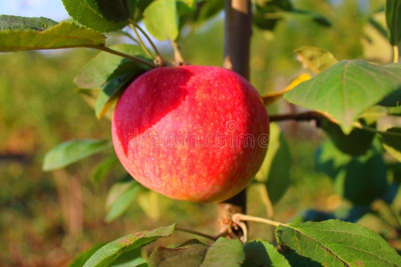 Reifer Apfel auf einem Baumast in den Strahlen stockbild