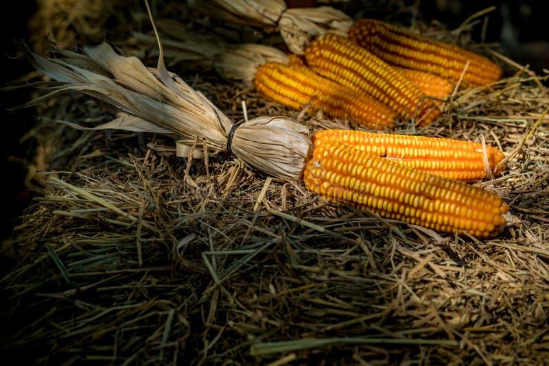 Reifer getrockneter Mais stockbilder