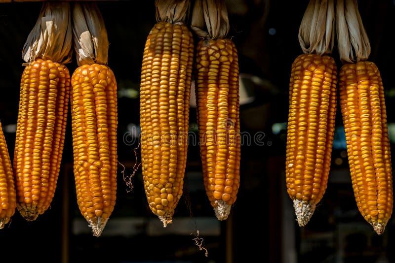 Reifer getrockneter Mais stockfoto