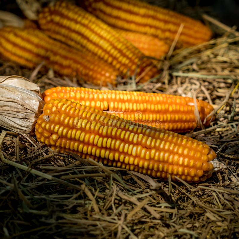 Reifer getrockneter Mais stockfotos