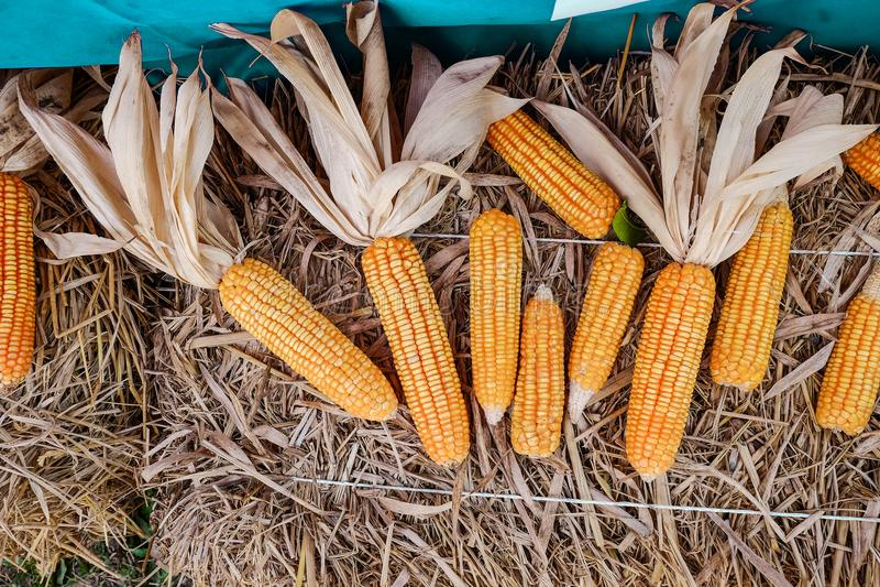 Reifer getrockneter Mais auf trockenem Reis stockfotografie