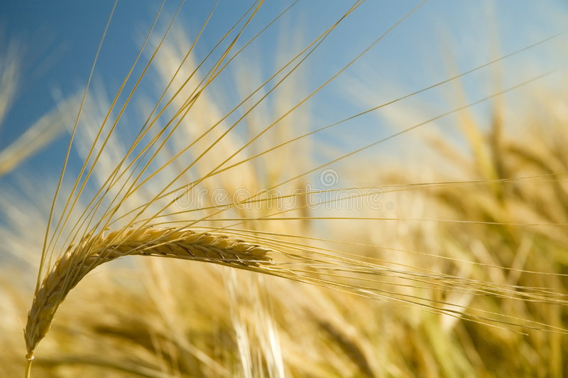 Reifer goldener Weizen 2 stockfotografie