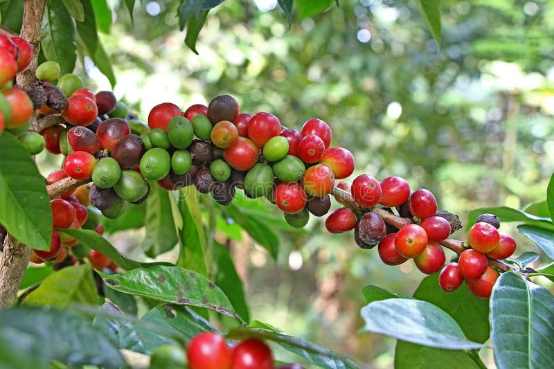 Reifer Kaffee Bean Clusters in der Anlage stockbild