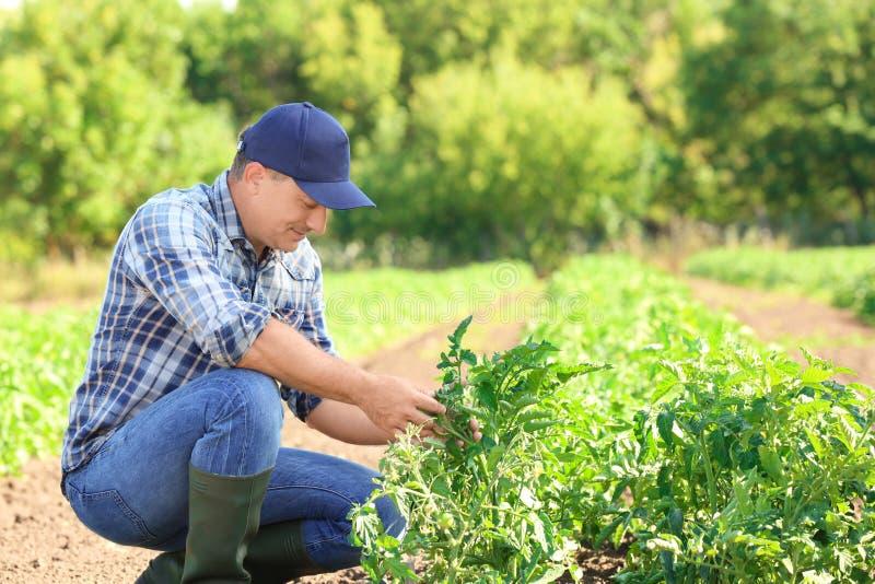 Reifer Landwirt, der auf dem Gebiet arbeitet stockfotos