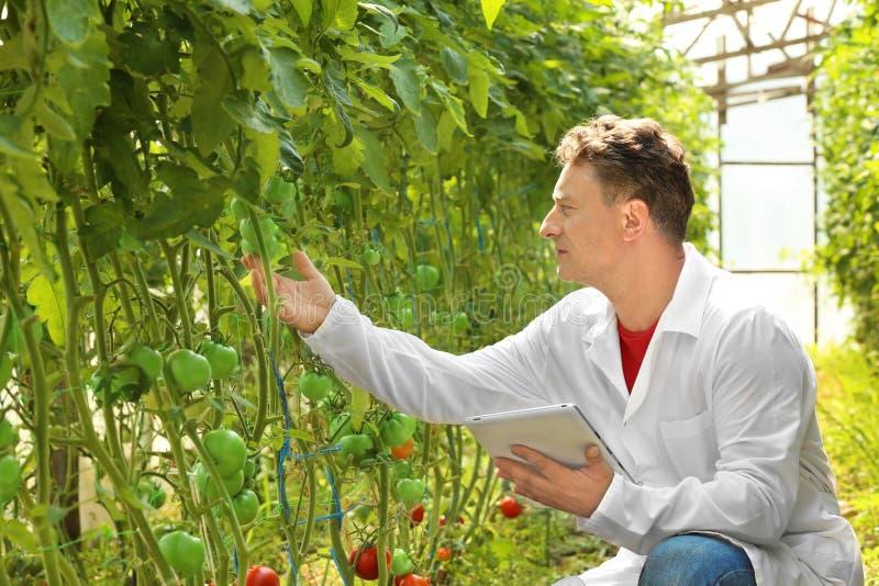 Reifer Landwirt, der Tablette im Gewächshaus mit Tomaten verwendet lizenzfreies stockbild
