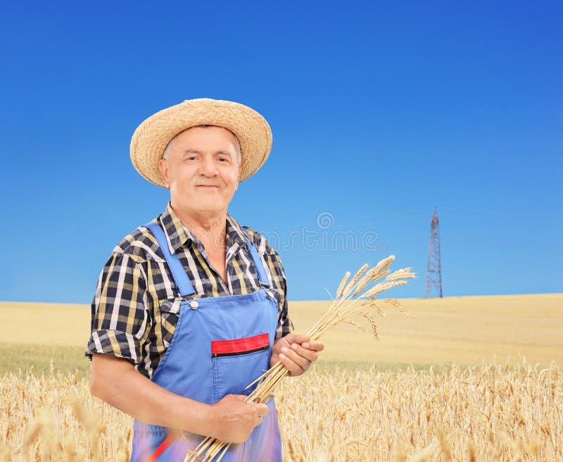 Reifer Landwirt, der Weizenstrohe auf einem Gebiet hält lizenzfreie stockbilder