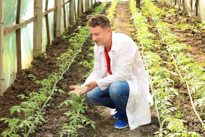 Reifer Landwirt im Gewächshaus lizenzfreie stockbilder