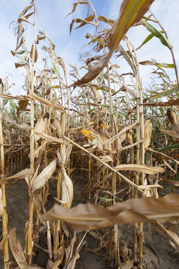 Reifer Mais auf dem Gebiet stockfotografie