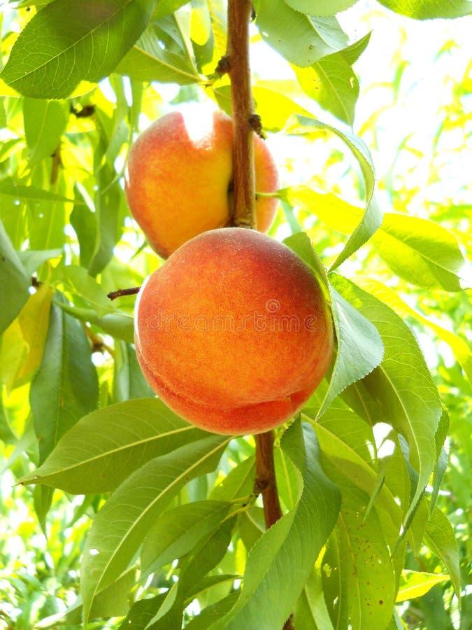 Reifer organischer Pfirsich lizenzfreies stockbild