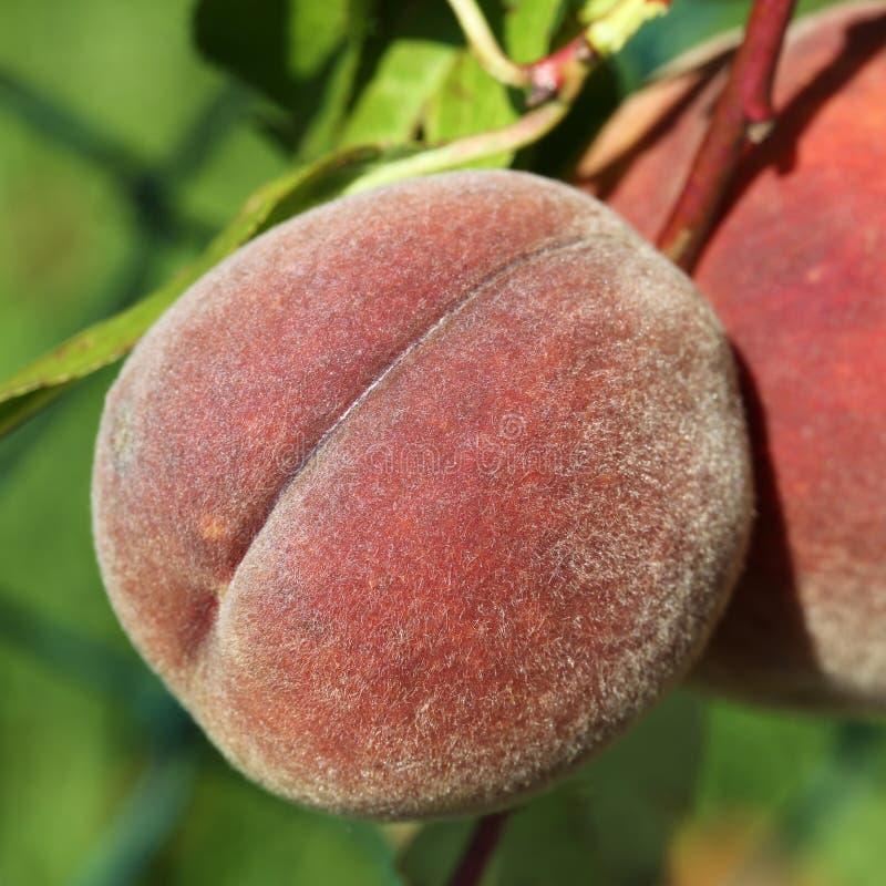 Reifer Pfirsich auf einem peachtree stockfotos