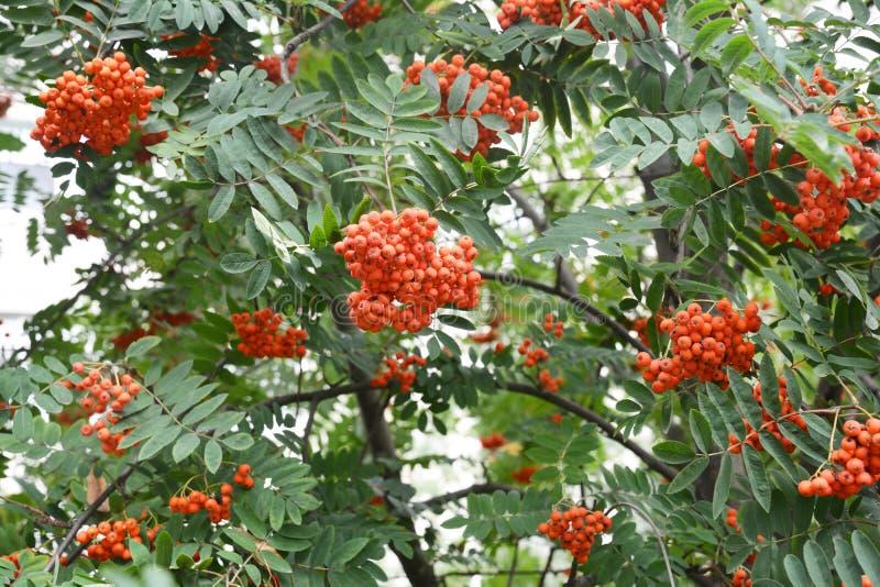 Reifer Rowan Berrries auf Rowan Tree stockfotos